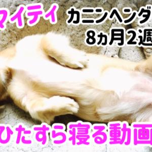 子犬マイティがひたすら寝る動画 カニンヘン ダックス 8ヶ月2週目