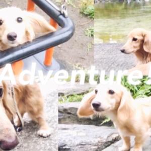 子犬とシニア犬のアドベンチャーなお散歩 ダックス