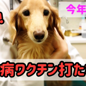今年の愛犬リオは狂犬病ワクチンを打たない