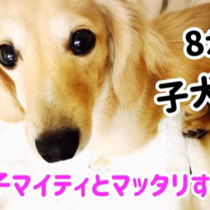 子犬マイティとマッタリ動画 カニンヘンダックス 8ヶ月3週目
