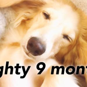 子犬マイティの癒し動画 ダックス 9ヶ月3週目