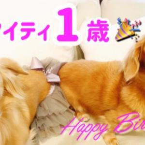 祝!ダックス娘マイティ1歳のお誕生日