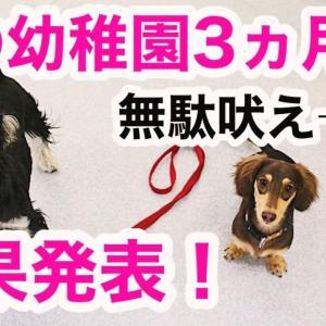 【卒園?】犬の幼稚園3ヶ月の結果!ダックスのマイティの場合