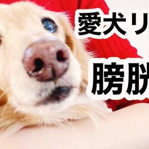 愛犬リオ娘が膀胱炎と診断!