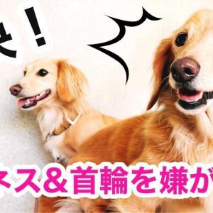 ハーネスや首輪を嫌がる愛犬の解決策!