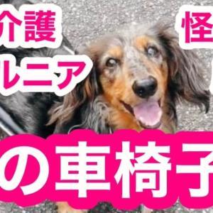 愛犬のヘルニア 老犬介護 怪我 犬の車椅子
