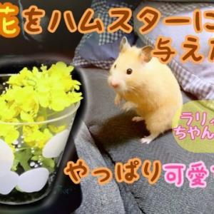 菜の花をハムスターに与えてみたら……やっぱり可愛すぎた❤︎.*