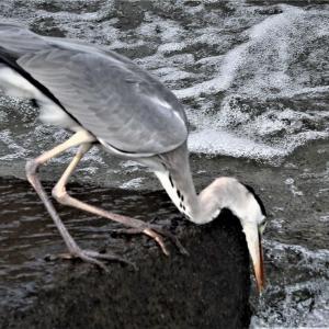 アオサギ・春の川の水量が増すと待ち伏せ漁、+飛翔