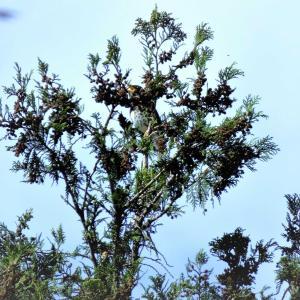 クロツグミ・樹上天辺での囀り、2編