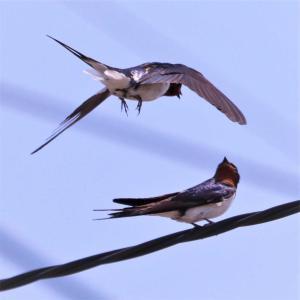 ツバメ・(続)電線上で親子2羽が飛翔の促しか?