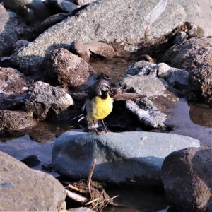 キセキレイ♂・喉黒,夏色で,飛び出し,羽繕い,ジャンプ