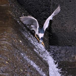 ゴイサギ・滝登りウグイの待ち伏せ漁で取り逃がした!
