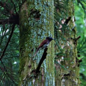 サンコウチョウ♂♀・巣を離れて♂♀が採餌、キビタキ幼鳥
