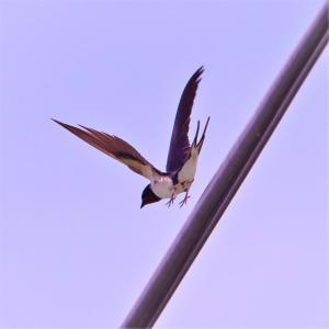 ツバメ(若)・電線から反転して急降下する飛翔だ!