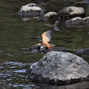 カワセミ若・午前中早い時に河原の石からの飛び出しだ。