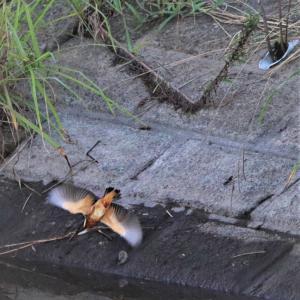 カワセミ若・早朝編、草枝から飛び込み水面から脱出だ。