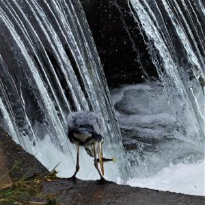 アオサギ若・(続) 川堰の待ち伏せ漁、前回より大きい獲物だ