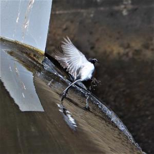 セグロセキレイ・(成鳥) 川堰の天辺で移動飛行が光った。