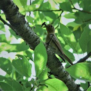 オオルリ(♀)・メスは餌を咥えて目立たなく出て来ます。