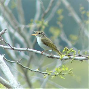 センダイムシクイ・低山の夏鳥としては必ず撮っておきたい