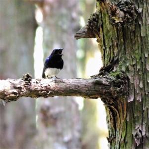 オオルリ♂・梅雨前の明るい林間で囀る期間があります。