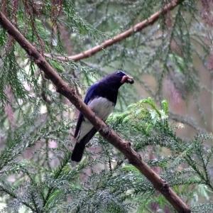 オオルリ♂・梅雨前の明るい杉の林間で種々のエサ集めだ。