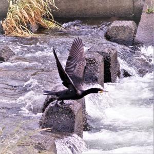 カワウの飛び出し2編・川堰の落ち込みで白い泡を背景に。