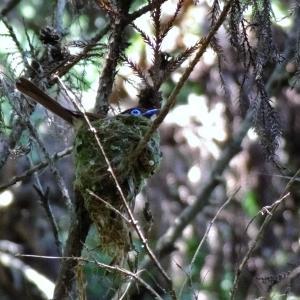 サンコウチョウ・(在庫から)親♂+巣立ち雛、抱卵♀。