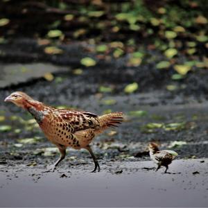 コジュケイ・子供の一羽が側溝に落ち、助けに向かう親。