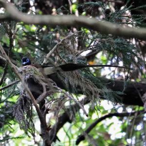 サンコウチョウ♂・積極的に巣作りに参加 (在庫より)