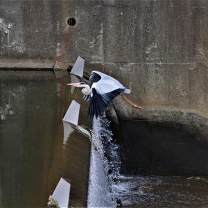 アオサギ・一番大きな川堰を飛び越えて行く、+α)