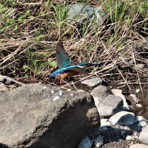 カワセミ若♂・河原の大きな石から飛び出し、水平飛行。