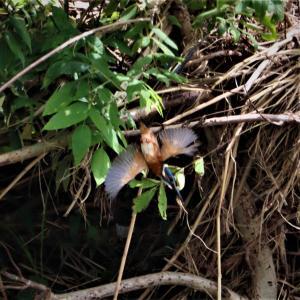 カワセミ若・ブッシュの枝影から垂直降下で水面まで。