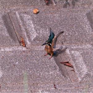 カワセミ若・反射で光る対岸ブロックに沿って水平飛行。
