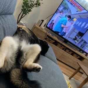 【脱力系豆柴】ひどい寝姿でテレビをみる大豆