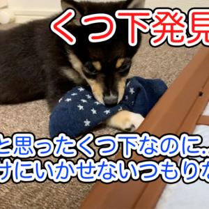 【大豆の泥棒シリーズ】くつ下で遊ぶ豆柴大豆『お出かけ行かせてよ #010』【子犬】