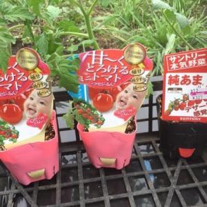 ミニトマトを植え付けました!