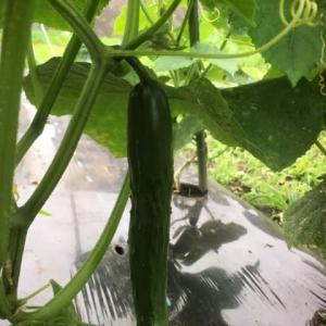 ジャガイモを収穫しました!PartⅢ