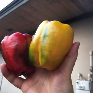 パプリカを初収穫しました!