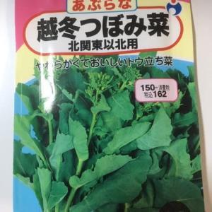 ツボミ菜を植え付けました!