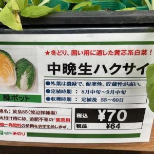 白菜を植え付けました(^^)/