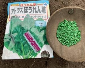 ホウレン草を播種しました(^^)/