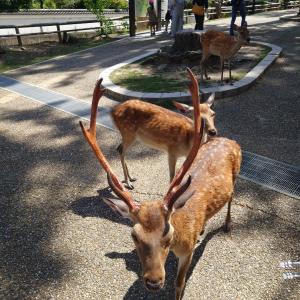 奈良公園の鹿と大仏
