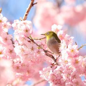 桜、猫さん、桜 、そして猫さん