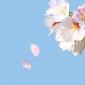 さようなら桜さん… また来年!