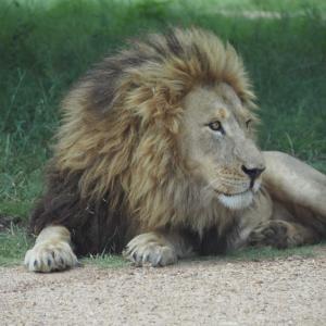 ライオン達に会いに行こう ~南アフリカ ライオンパーク~