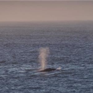 陸上からクジラを観察 ~南アフリカ~