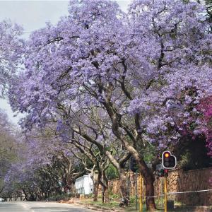 ヨハネスブルグのジャカランダ ~南アフリカ~