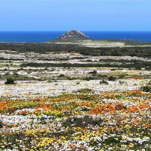 花巡り 圧巻の光景 延々と続く花の絨毯 @ウエストコースト国立公園 その① ~南アフリカ~