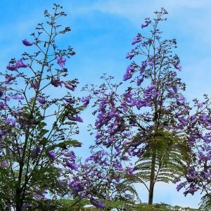 Webお花見(写真でお花見) 第64会場    レポート@ジャカランダの花